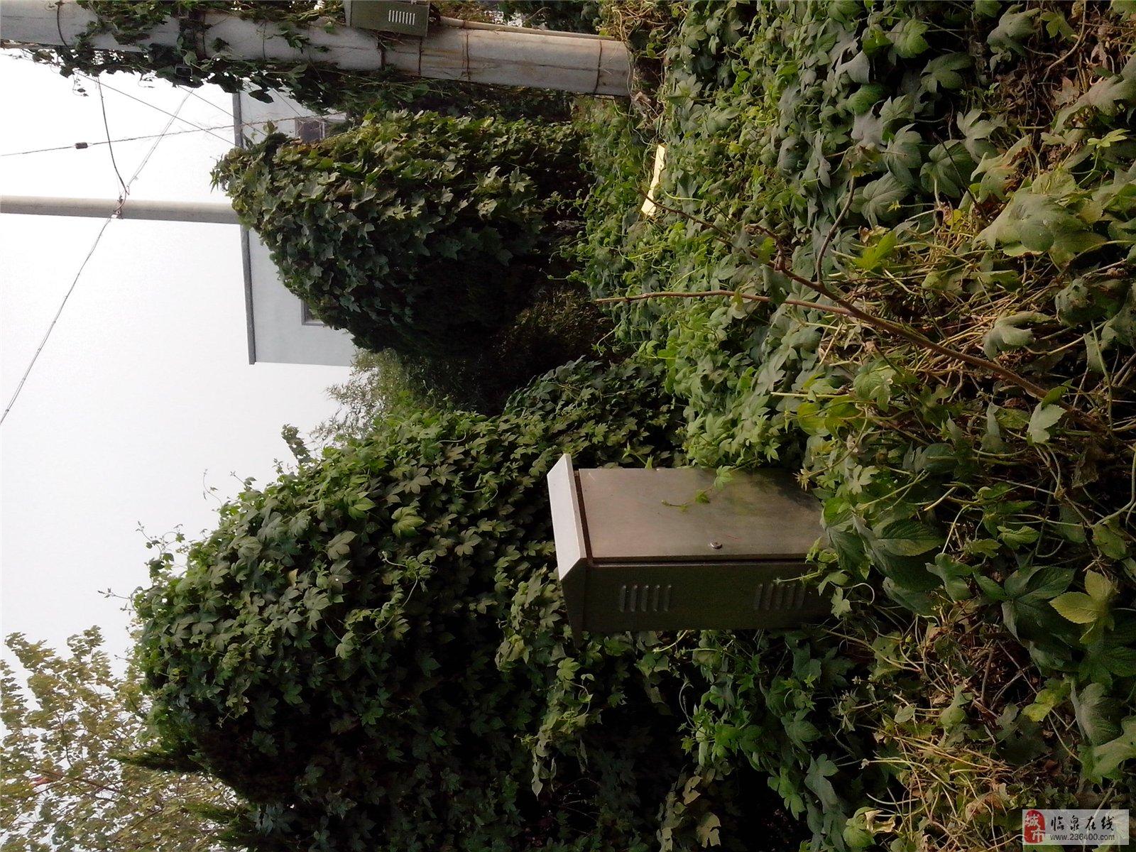 救救临泉北坝子上的松柏树