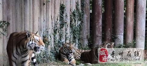 意大利一男子动物园喂虎