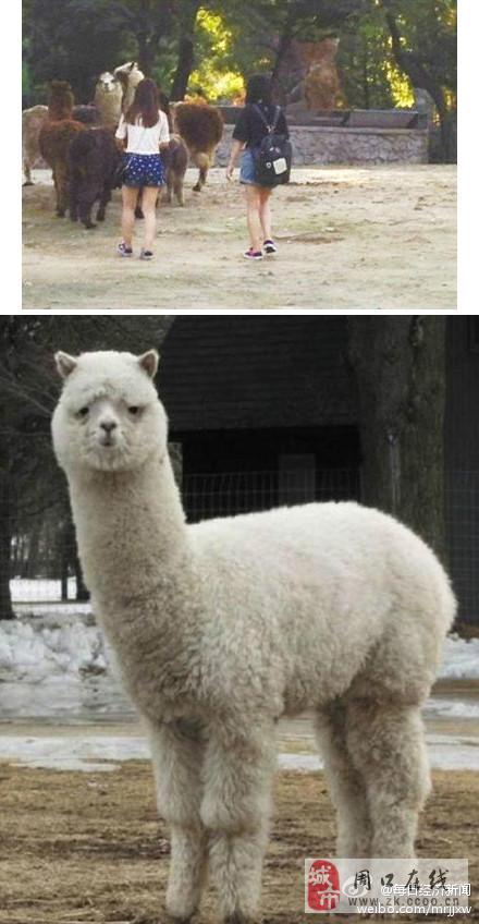 北京动物园:两女孩翻围栏追羊驼