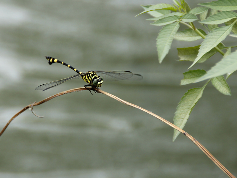 大蜻蜓简笔画图片大全