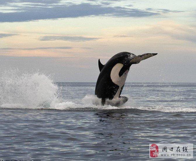 跳水海豚简笔画