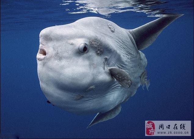 最大的翻车鱼出现在人们视野中