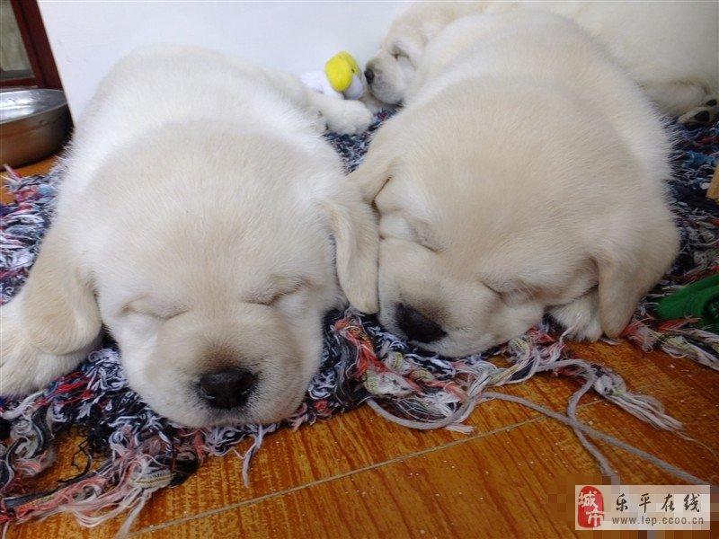 拉布拉多宝贝们睡觉的各种卖萌