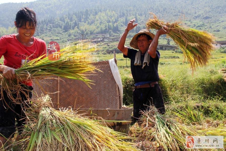 割稻谷时的图片。_(图片)遂川山区单季稻开始收割_遂川风情_遂川论坛