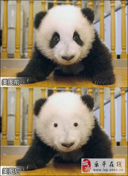 好萌好可爱!熊猫宝宝集体亮相惹人爱