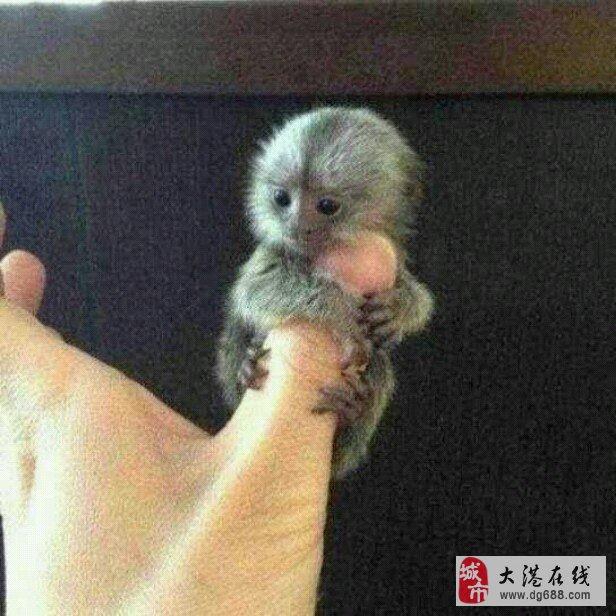 好可爱的手指猴