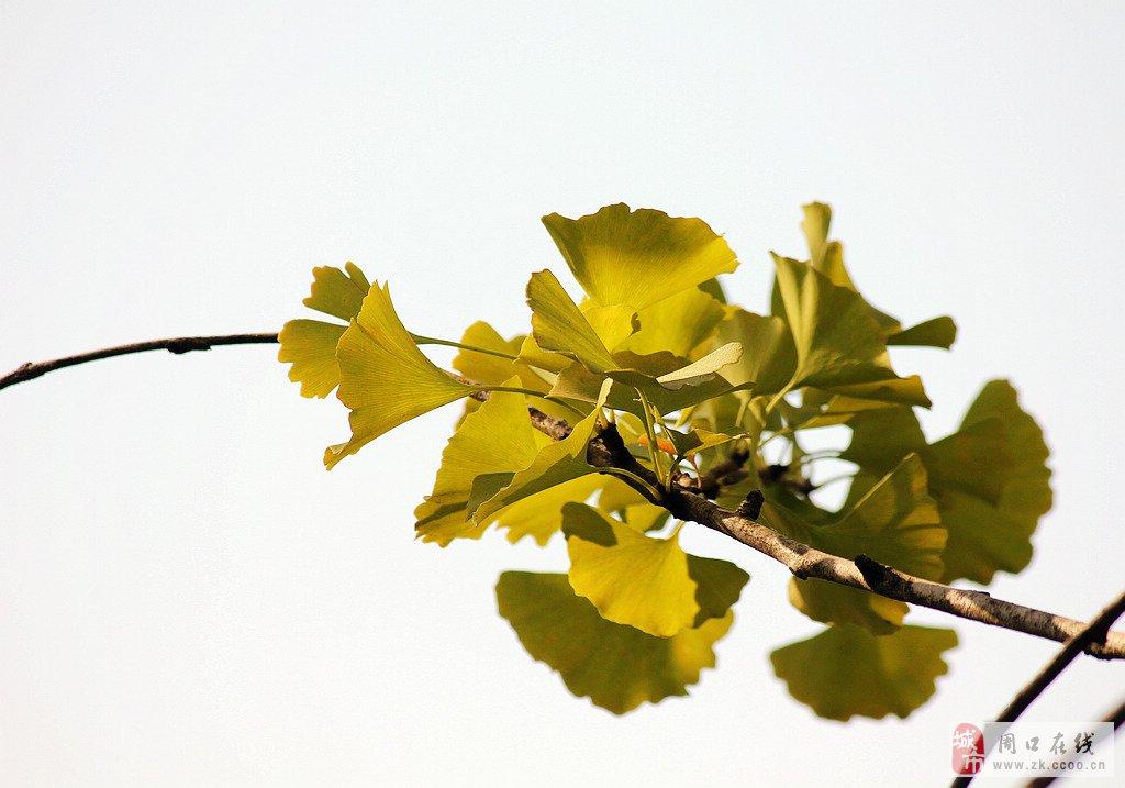 秋天的景色——银杏树_摄影作品_周口论坛