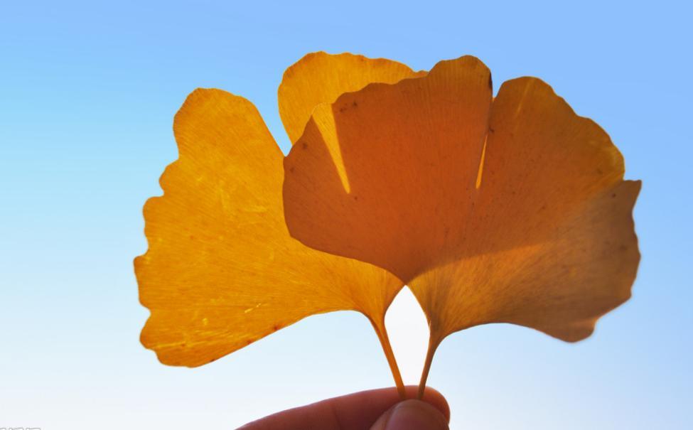 银杏树叶 银杏树叶图片简笔画 树叶粘贴画