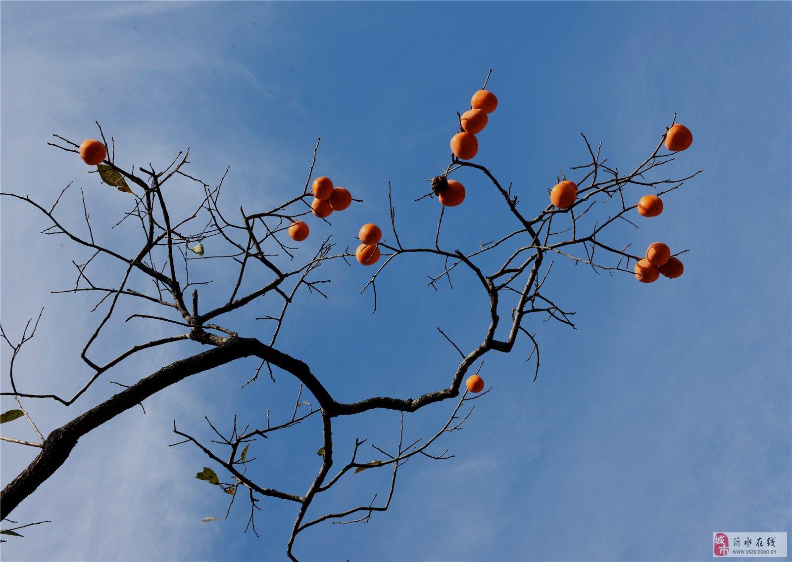 秋天来了,祝各位网友柿柿如意!