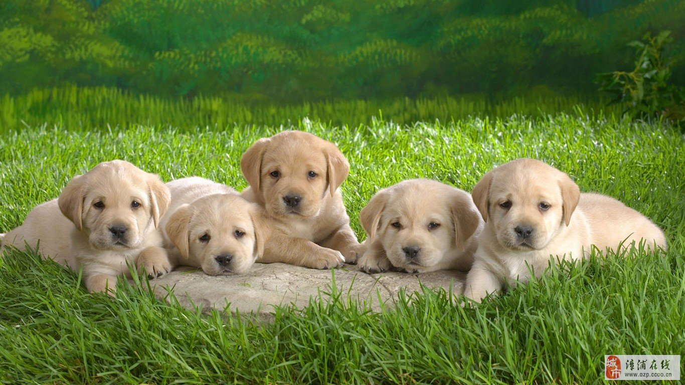 神犬小七动物图片大圣