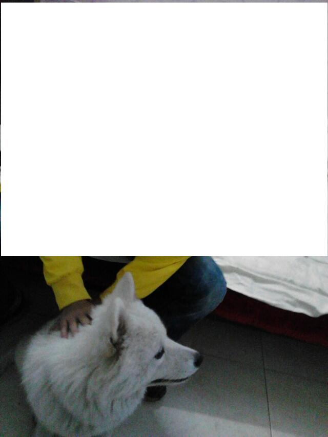 寻狗萨摩耶一只,八个月母