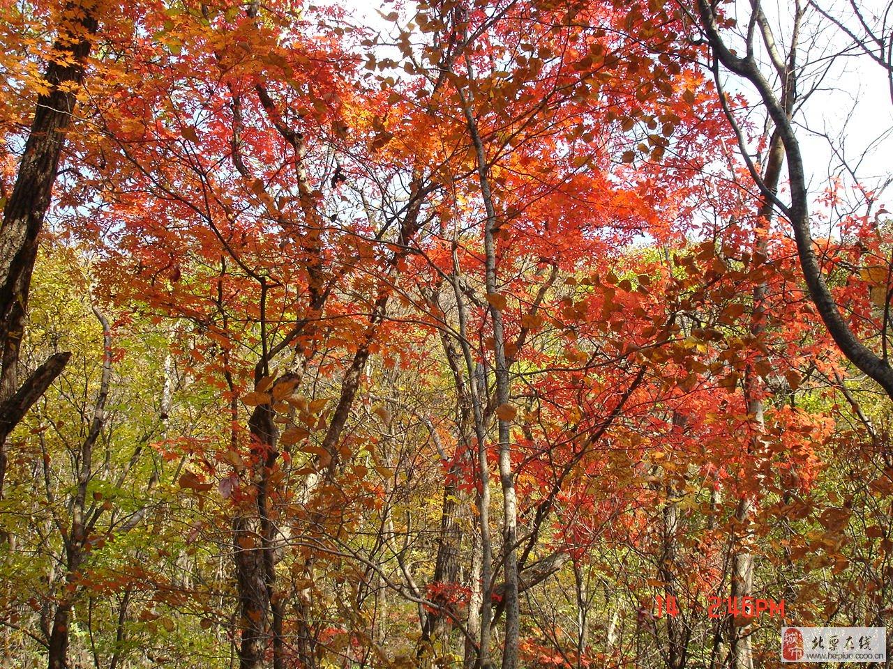 满地红叶风景图片