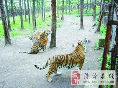 中国横道河子猫科动物饲养繁育中心是目前