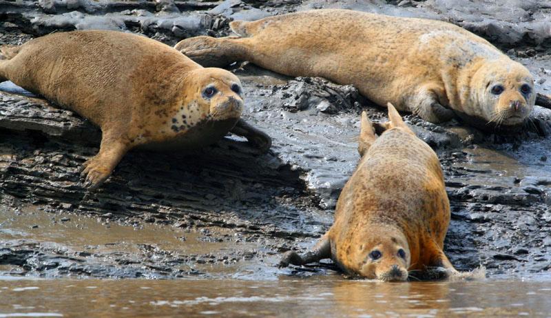会迁徙的动物海豹