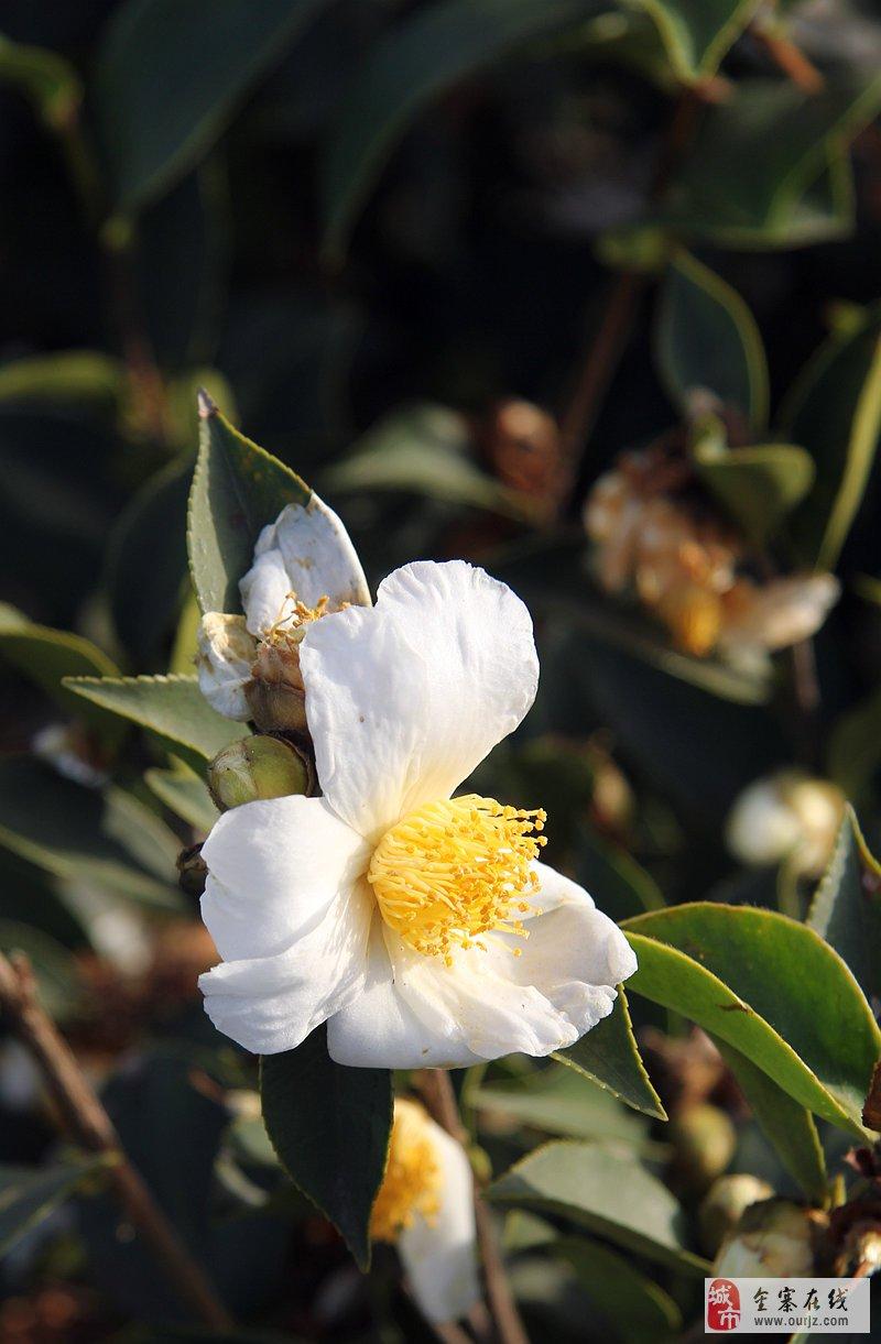 [摄影图片]我也游金寨茶山花海 奉献几朵花花