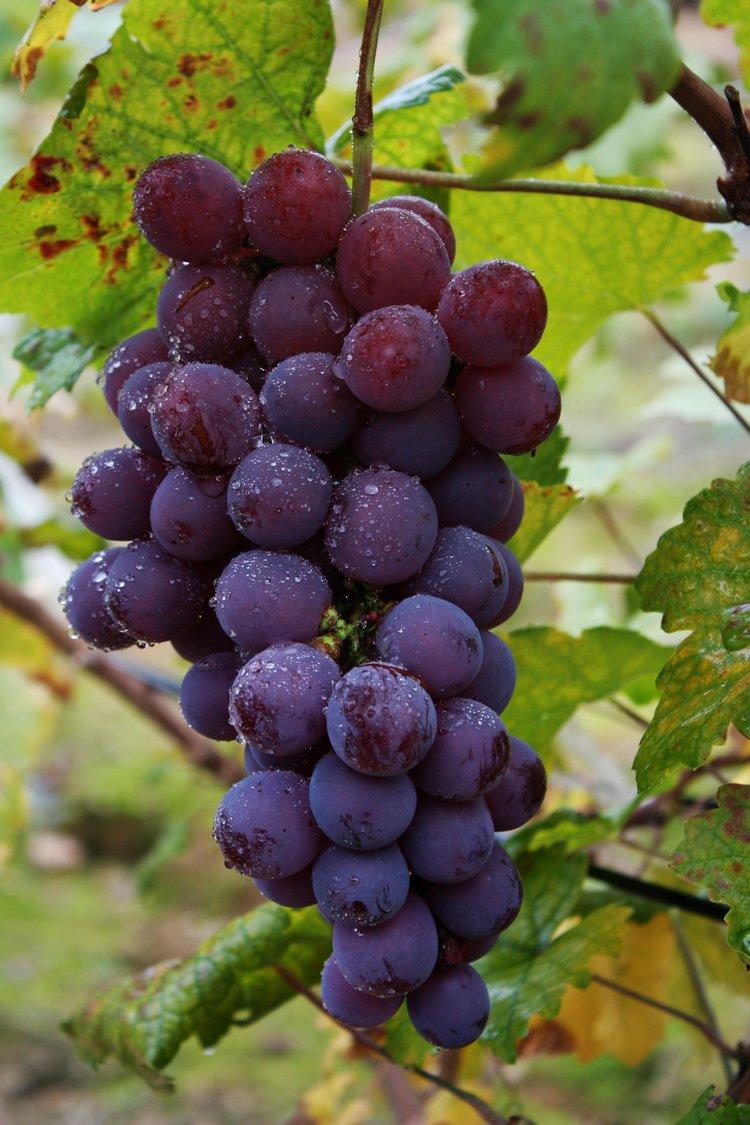 韩国葡萄可爱图片