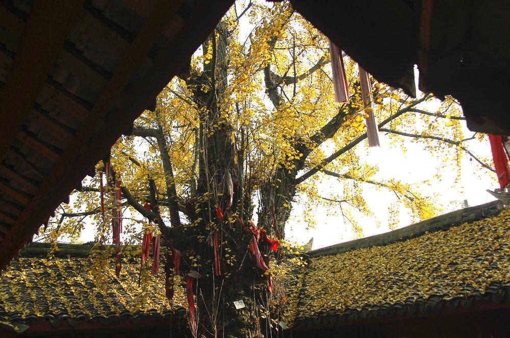 广汉千年古银杏树——广汉市南兴镇白果村仁圣宫(图片