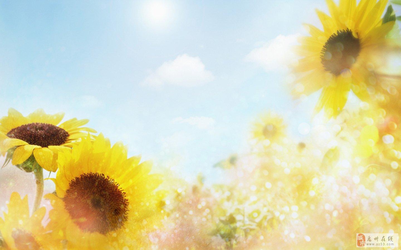 手绘向日葵情侣图片