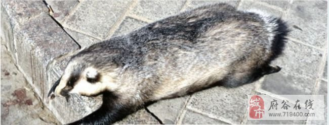 省重点保护动物猪獾被当街叫卖