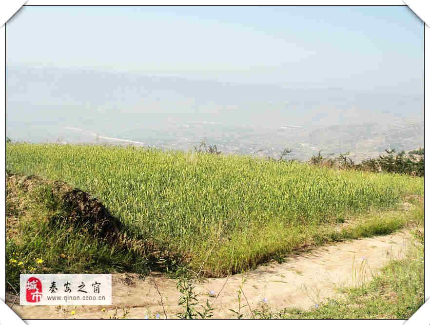 秦安:田园风光-麦浪