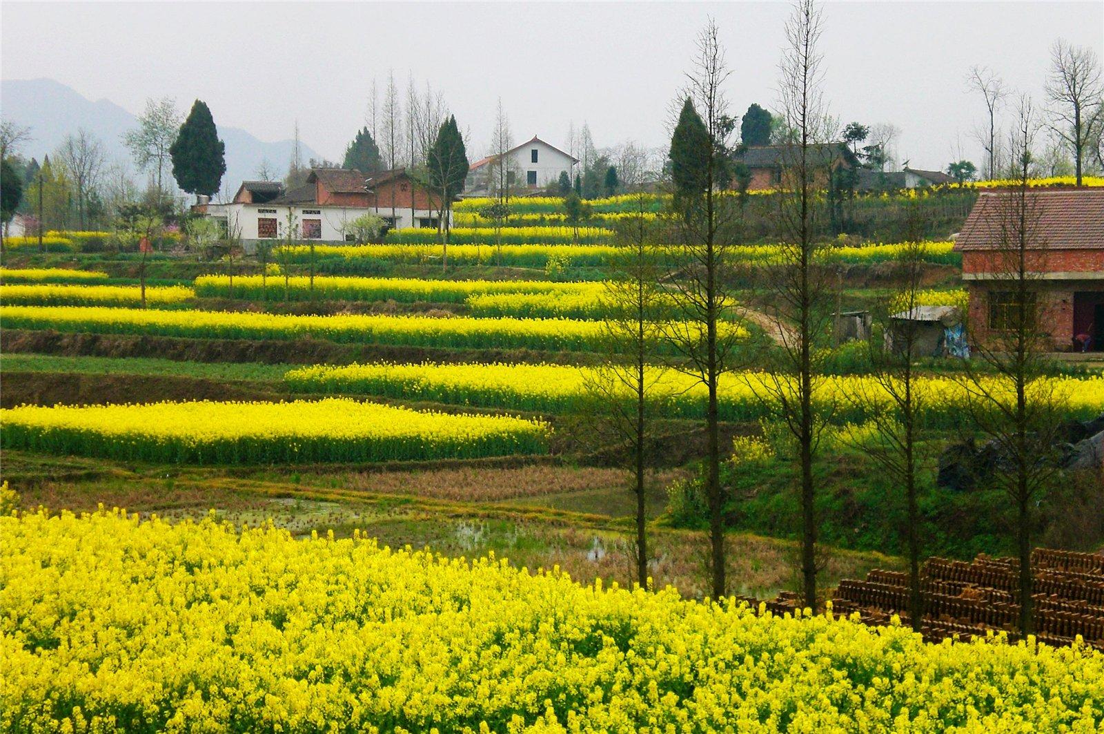 2014年汉中油菜花节