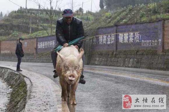 惊:骑猪上街成潮流 老人骑500斤猪逛街图片