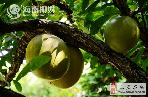这就是瓢瓜树,别名铁西瓜,因盛果期,倒挂枝头的果实酷似从天而降