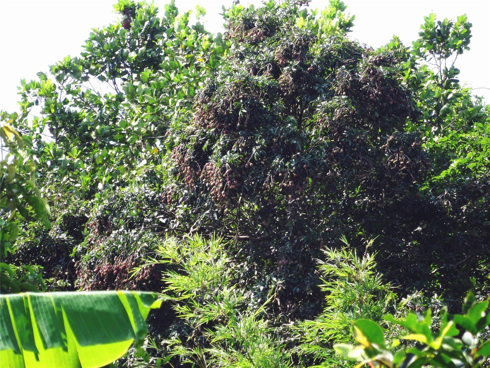 乡下的老荔枝树结果累累,野味十足,就是高不可攀!