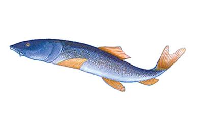 新疆大头鱼_基本概况_库尔勒在线