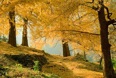 钱冲古银杏国家森林公园