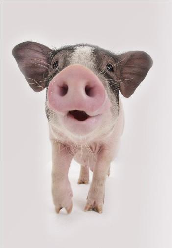 猪的很可爱的图片