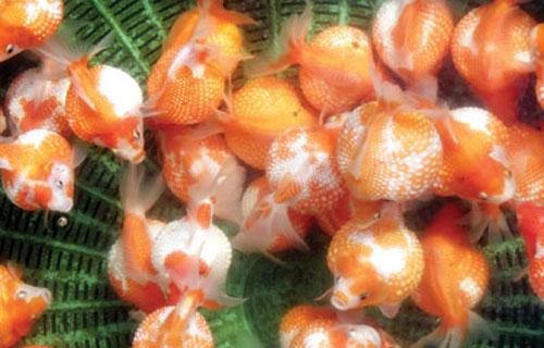 ... 丽丽 鱼 重庆 观赏 鱼 懂 热带 鱼 五彩 丽丽 的 来
