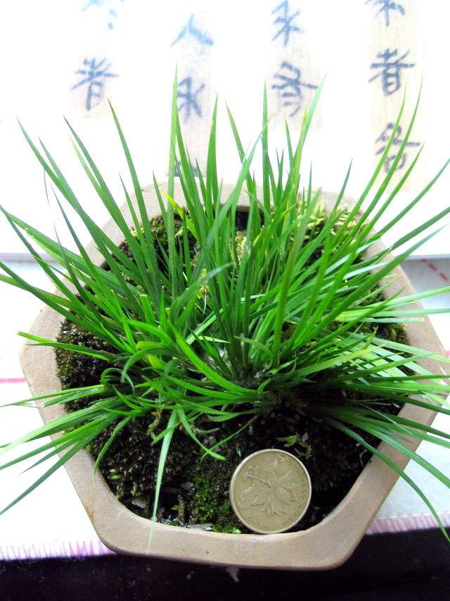 虎藤植物图片