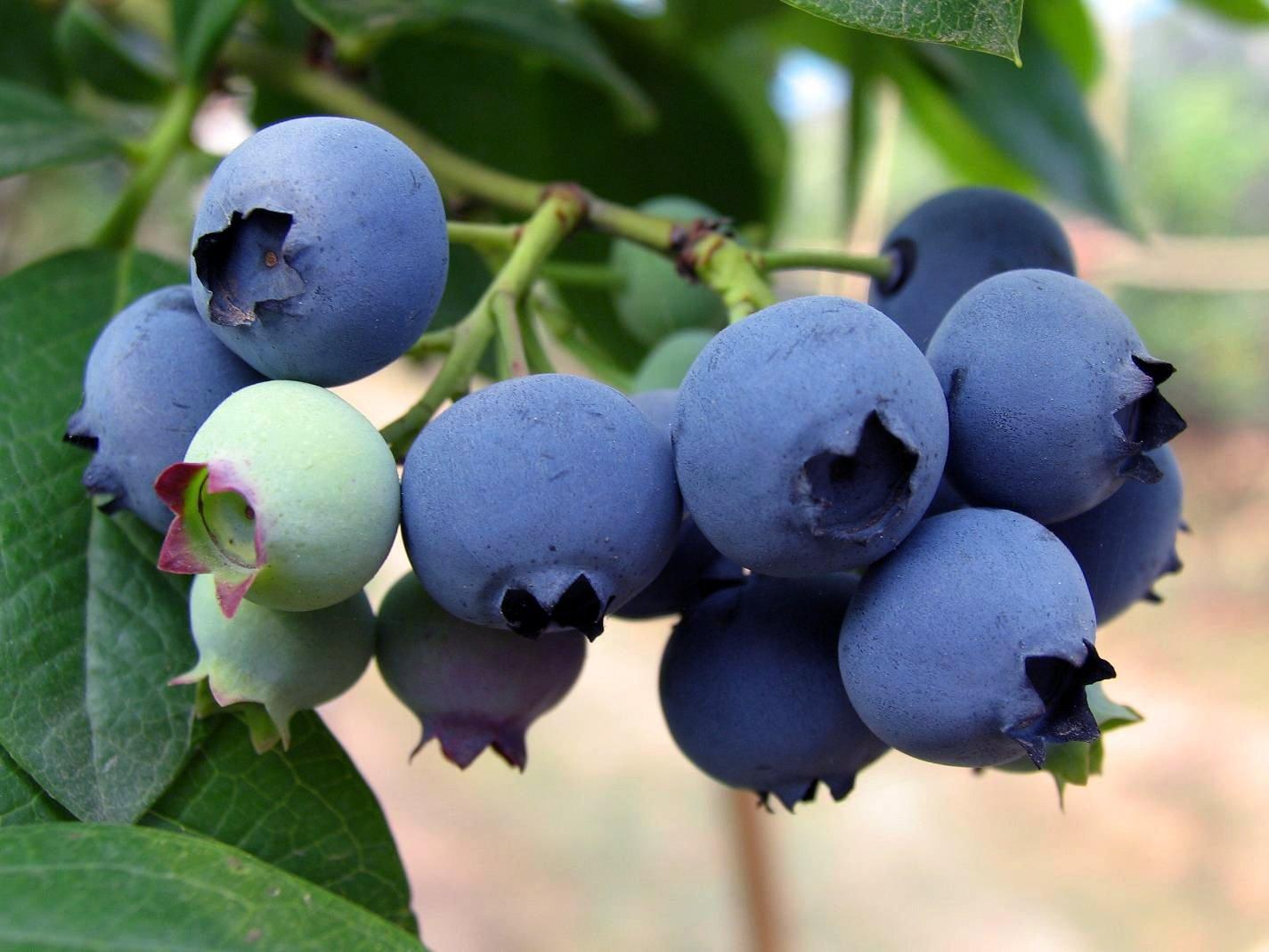 蓝莓_网上逛街_网上麻江