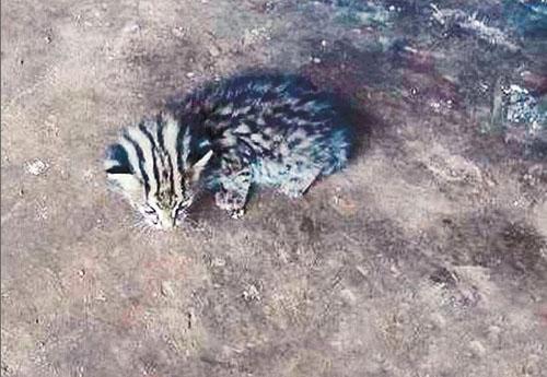 国家一级保护动物云豹再现澜沧