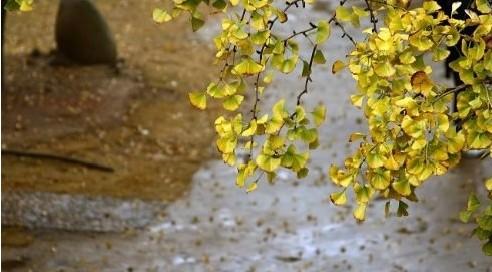 十里银杏长廊银杏树枯黄 提前出现深秋景色