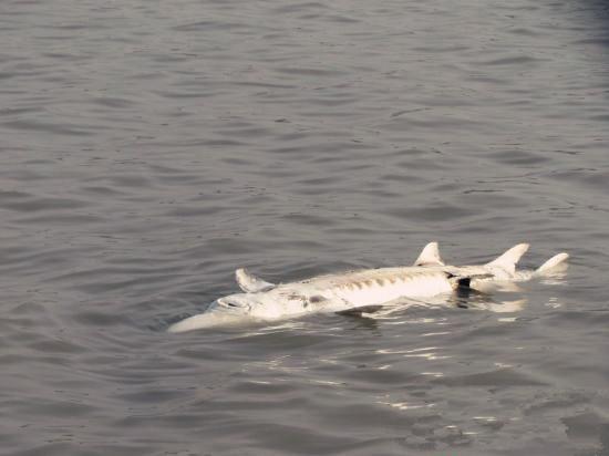 被发现时,这条中华鲟肚皮朝上浮在江面上。 昨日下午,安庆海事局太子矶执法大队海事执法人员巡航至长江太子矶水道时,发现一条巨大的鱼肚皮朝上浮在江面上,鱼身像一个长长的梭子,呈圆筒形。经进一步观察后发现,鱼已经死亡。经业内人士比对,这条死亡的大鱼正是被誉为水中大熊猫的中华鲟。  随后,在海巡艇现场维护下,海事执法人员指挥作业渔船将这条中华鲟小心翼翼拖拉至长江北岸。经测量,该中华鲟重约350千克。  中华鲟是我国长江的特有物种,为国家一级保护水生野生动物。鲟类最早出现于距今2 亿3千万年前的早三叠纪,它们与