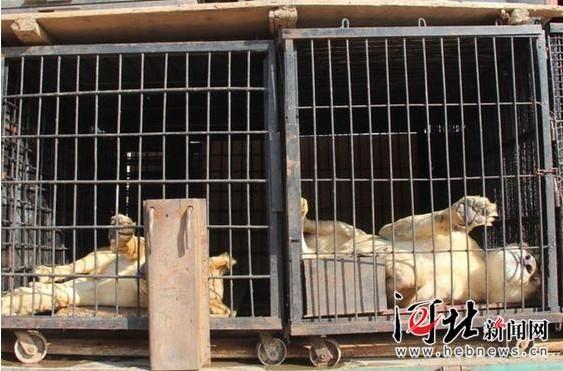 吴桥杂技节马戏大棚部分动物演员到达石家庄