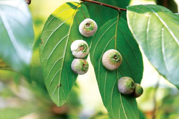 """山林怪树叶长果实 专家:叶子上""""果子""""是虫瘿"""