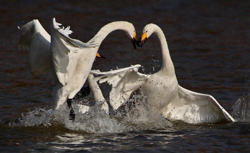 两只白天鹅在山西平陆黄河湿地嬉戏-平陆 湿地美 天鹅栖图片