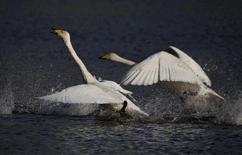 两只白天鹅在山西平陆黄河湿地飞翔-平陆 湿地美 天鹅栖图片