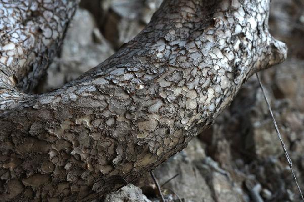 图二:脱皮榆树的树皮特写