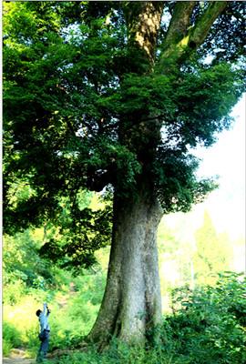 名贵楠木树图片