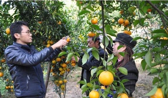 市民在橘树林里采摘橘子