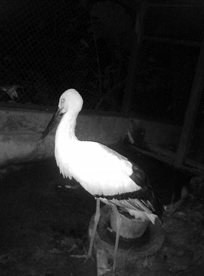 濒危鸟类东方白鹳现身屏南(图)