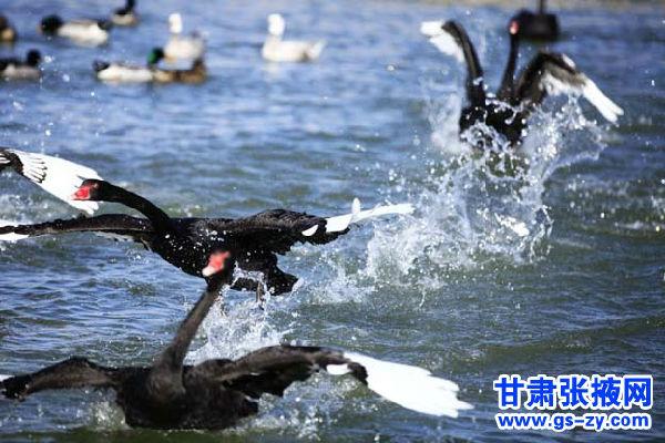 张掖国家湿地公园飞禽保护区内