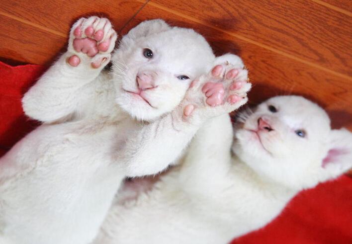 可爱猫咪吃手图片大全