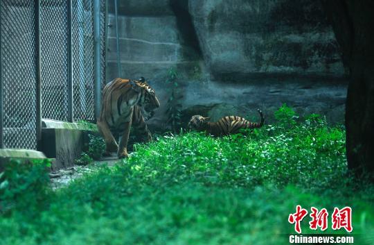 荣昌热点资讯 > 重庆动物园30年来首次自然哺育