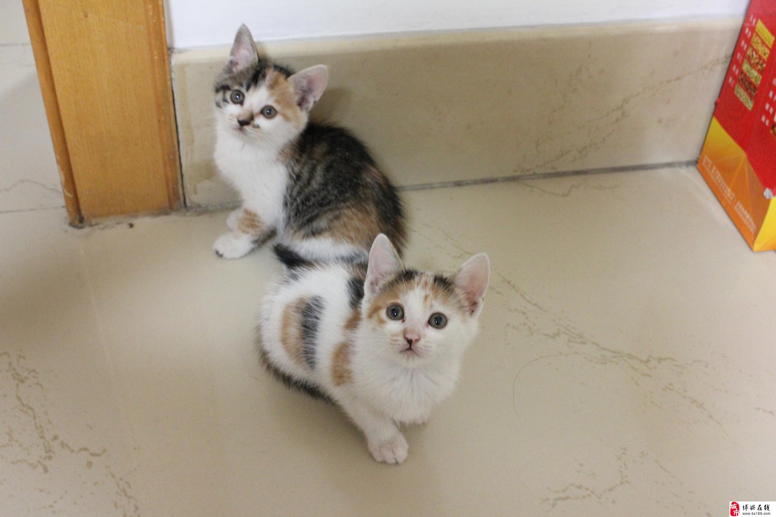 两只小猫均活泼可爱,能吃猫粮