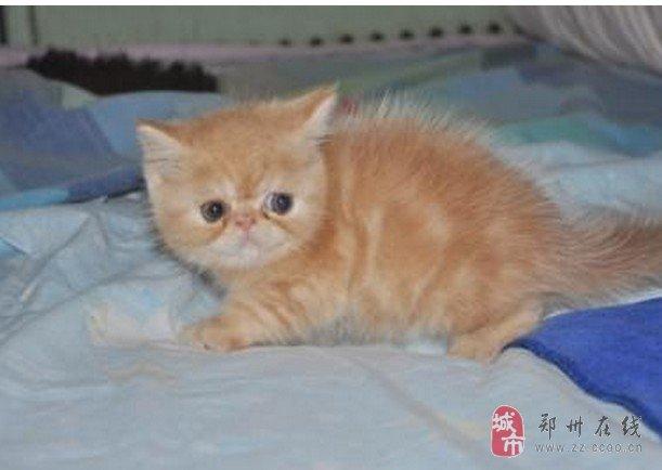 加菲猫,黄色,五短身材,鼻眼一线,性格活泼可爱,会吃猫粮,会用猫砂